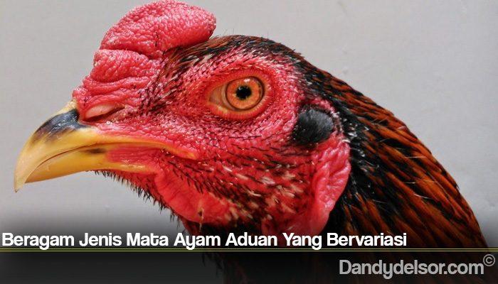Beragam Jenis Mata Ayam Aduan Yang Bervariasi