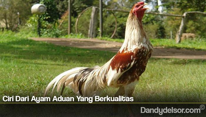 Ciri Dari Ayam Aduan Yang Berkualitas