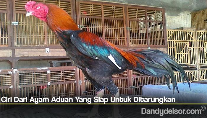 Ciri Dari Ayam Aduan Yang Siap Untuk Ditarungkan
