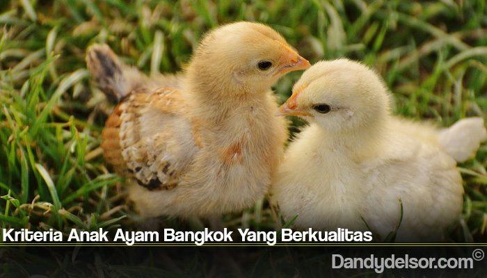 Kriteria Anak Ayam Bangkok Yang Berkualitas