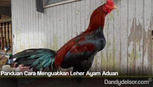 Panduan Cara Menguatkan Leher Ayam Aduan