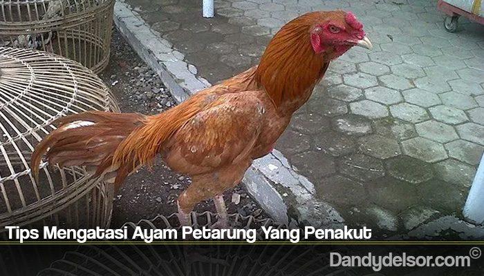 Tips Mengatasi Ayam Petarung Yang Penakut